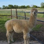 Twix - Male Alpaca For Sale