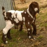 Samantha- Doe Goat For Sale
