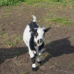 Buddy- Buck Goat For Sale