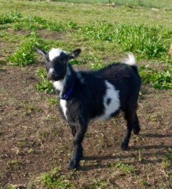 Edie- Doe Goat For Sale