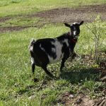 Lily- Doe Goat For Sale