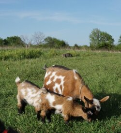 Gypsy- Goat Doe For Sale