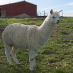 Marshmallow-Female Alpaca